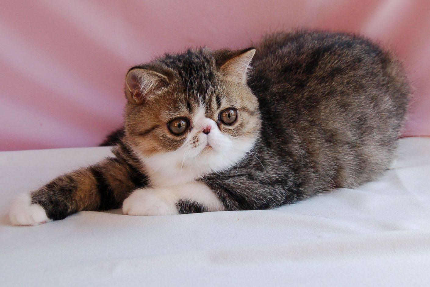 Порода кошек экзот - особенности содержания и ухода