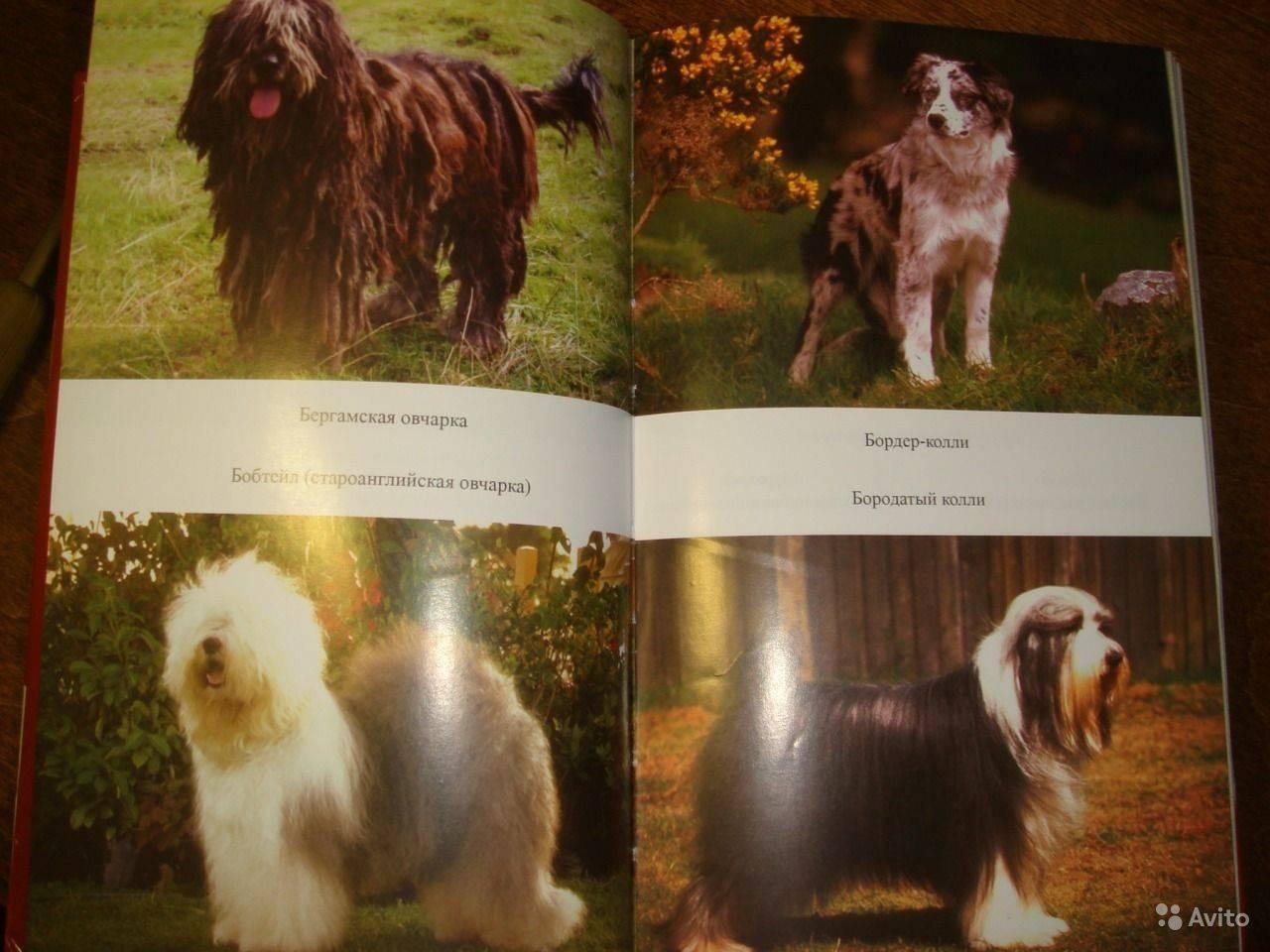 Ландсир: описание породы собак. ландсир (европейско-континентальный тип)