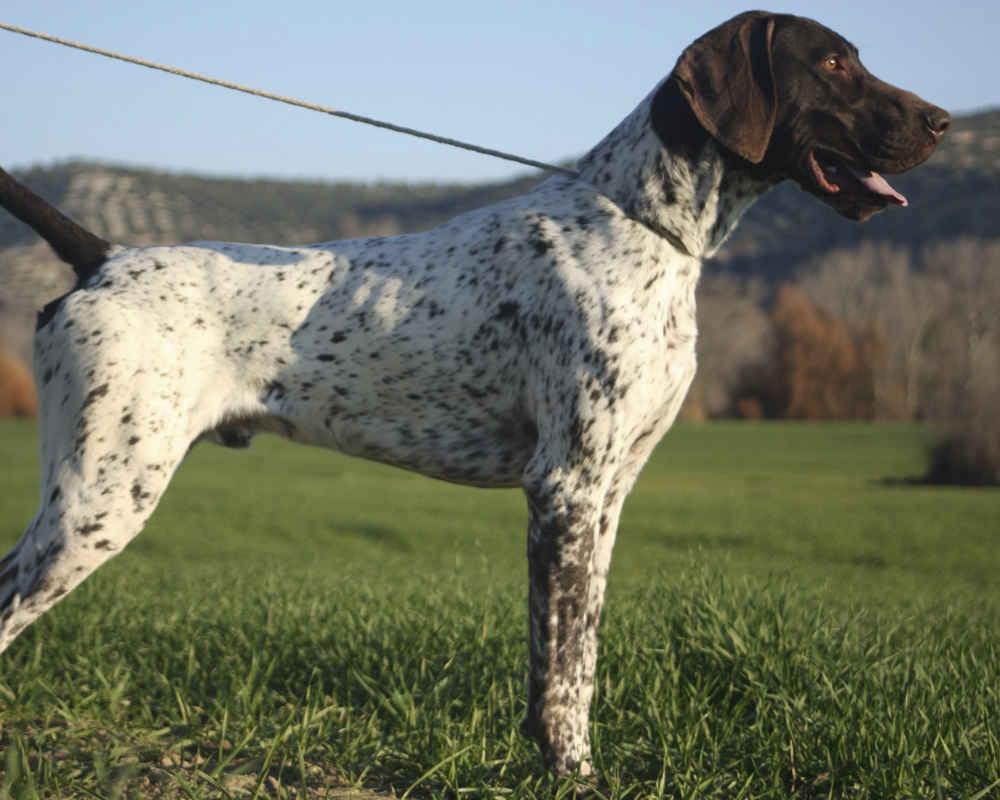 Английский той-терьер (той терьер) — описание породы собак