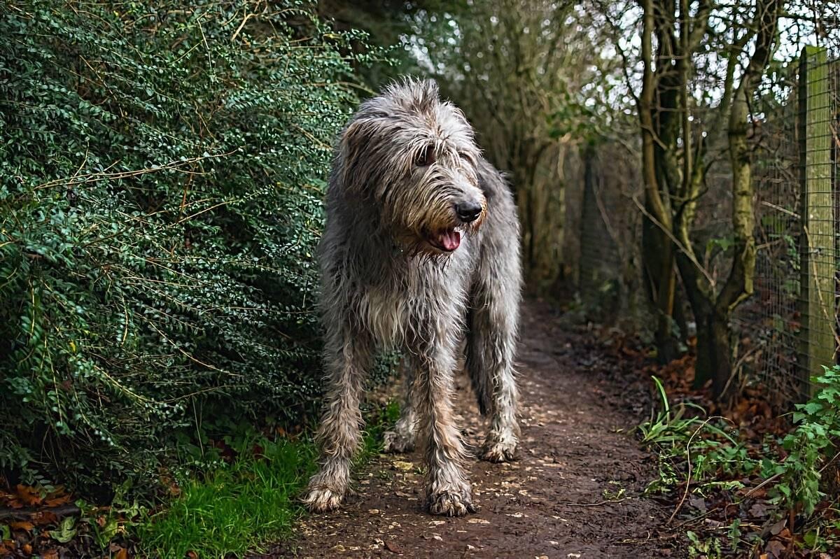 """Ирландские волкодавы: плюсы и минусы породы, характер, здоровье, уход   блог ветклиники """"беланта"""""""