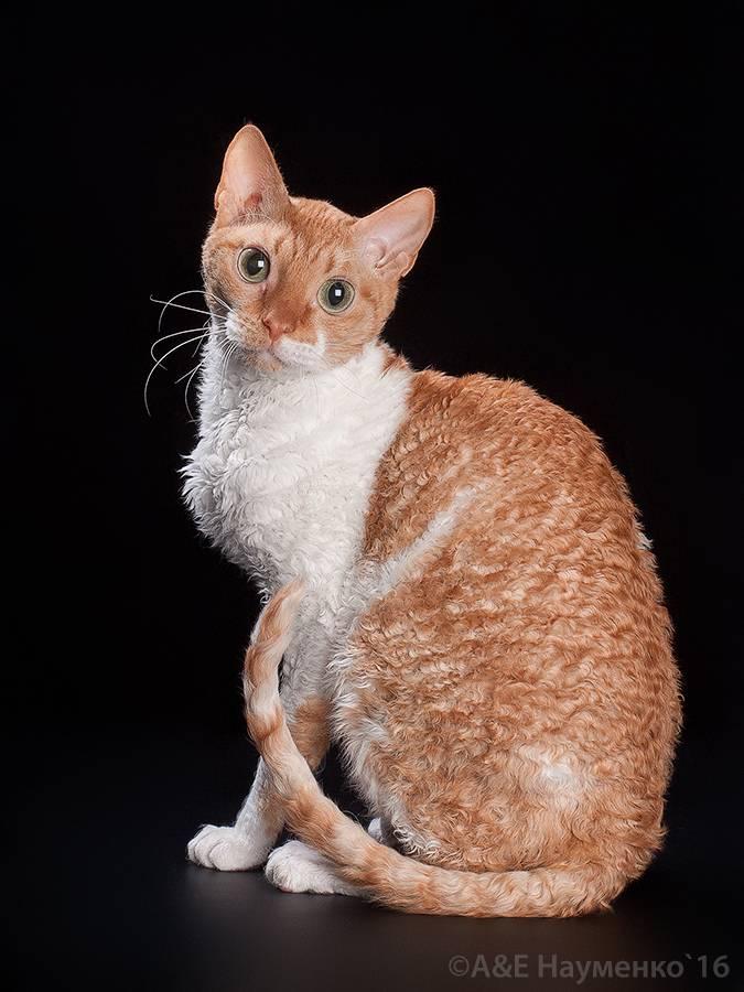 Бразильская короткошерстная кошка: описание породы и особенности содержания