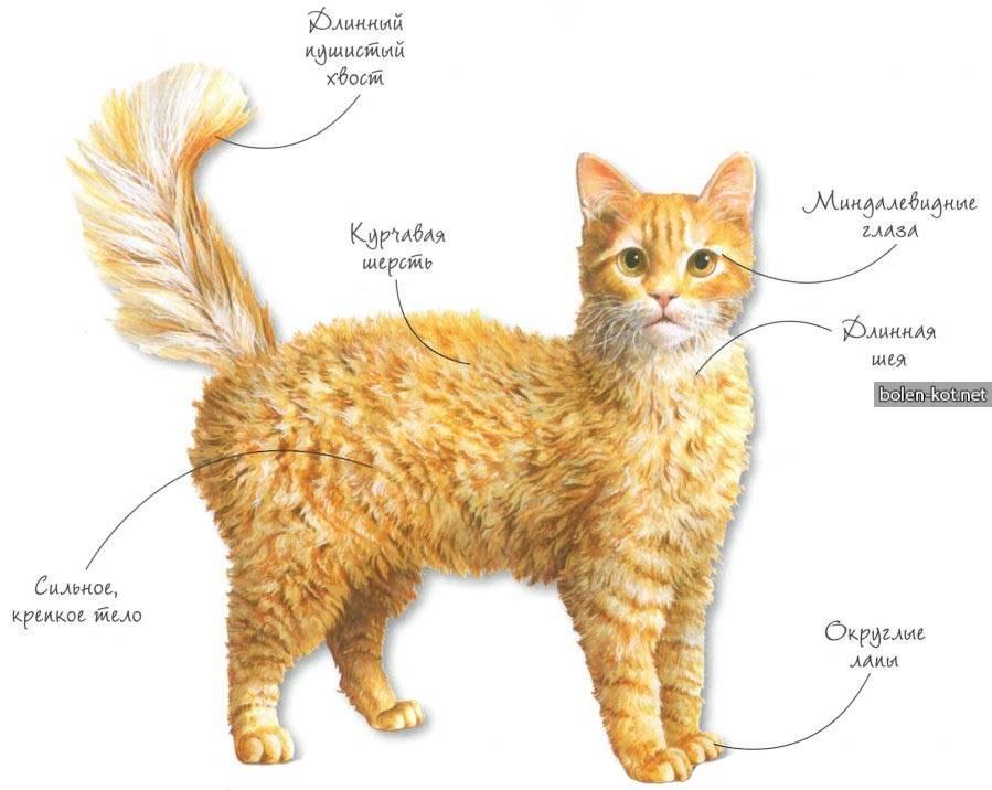 Лаперм (ла перм): описание породы кошек, характер, отзывы с фото