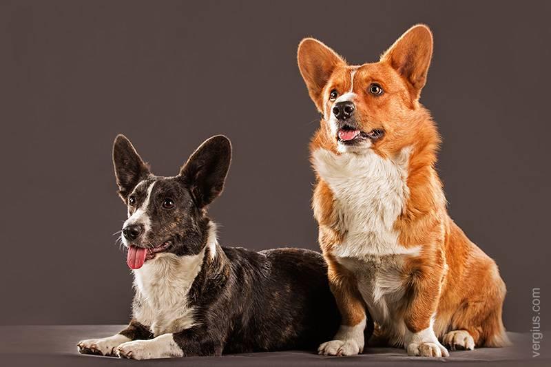 Вельш корги пемброк описание, плюсы и минусы, выбор щенка, питомники.