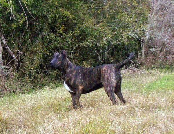 Веймаранер: все о собаке, фото, описание породы, характер, цена