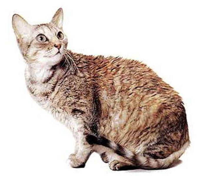 Немецкий рекс германская порода кошек