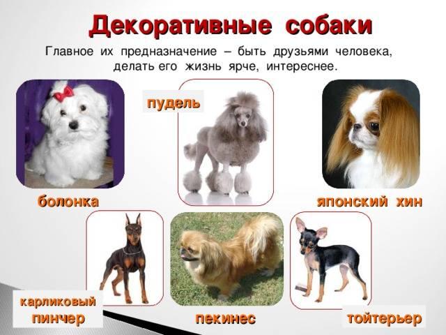 Маленькие породы собак: топ-20 с описанием и фото