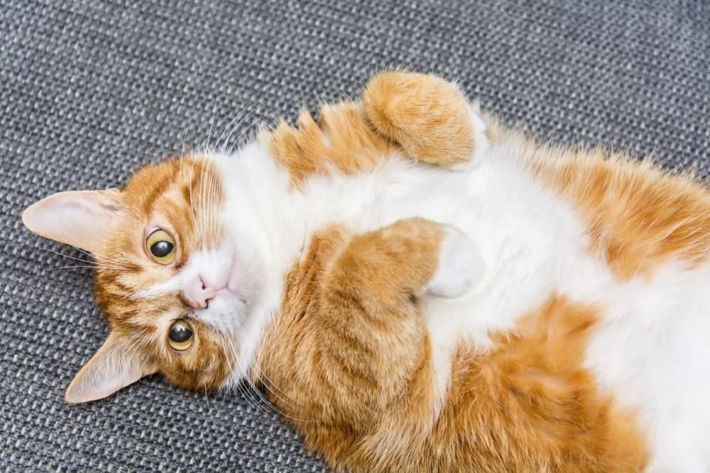 Рыжий кот: приметы и поверья, что значит, если животное перебежало дорогу или прибилось к дому