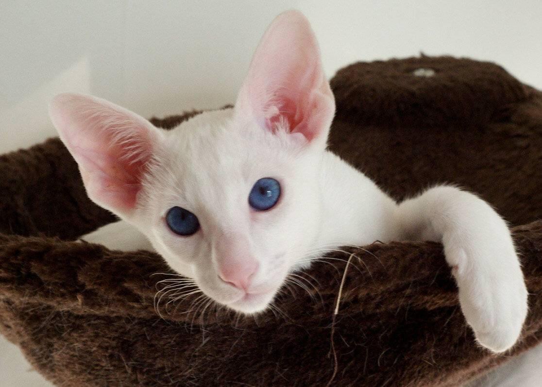 Форин bайт.фотографии породы кошек форин bайт. характер,размер,вес,здоровье