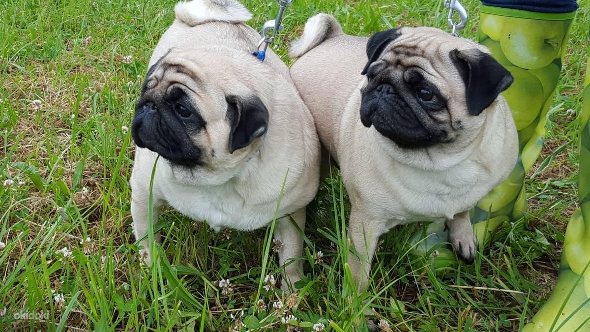Как правильно выбрать щенка мопса - мопс - все о породе собаки
