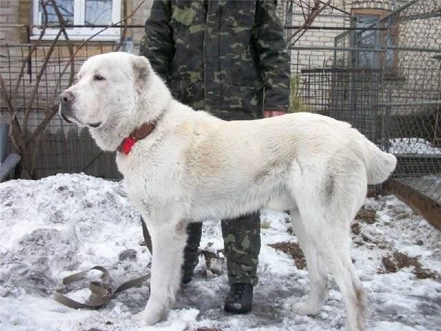 Плюсы и минусы купирования хвостов и ушей у собак. нужно ли купировать уши и хвост у собаки