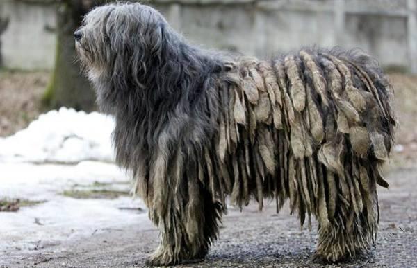 Бергамская овчарка (Бергамаско)