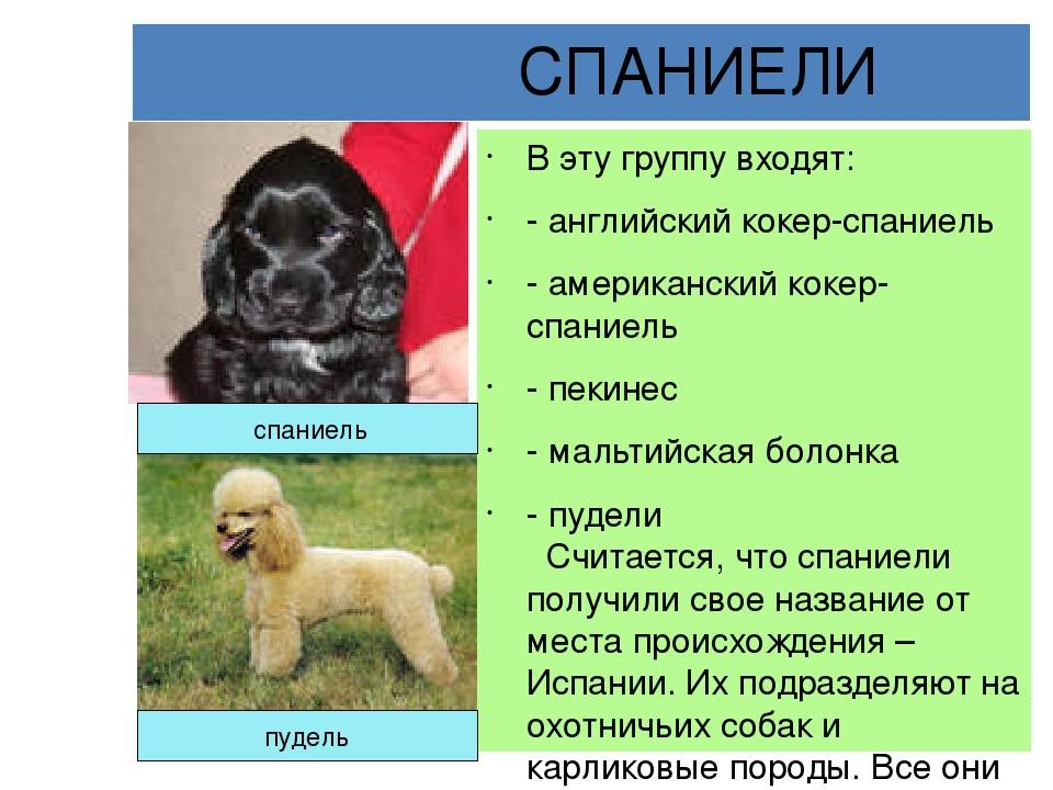 Кокер-спаниель - описание породы с фото. стандарт, виды, уход, цена