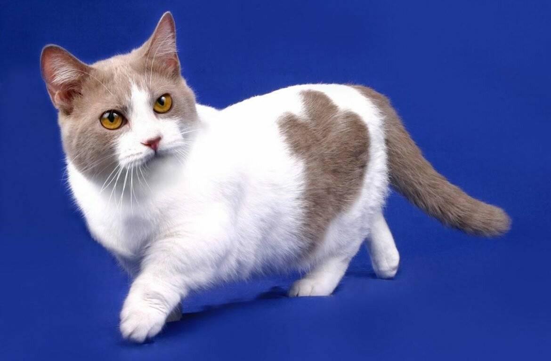 Обзор породы манчкин или кошка-такса: описание, фотографии | сайт о домашних животных