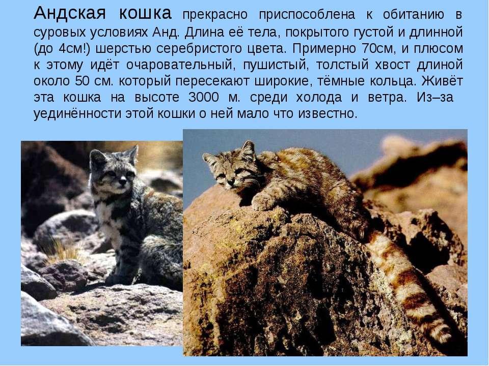Внешность, характер и ареал обитания андской кошки