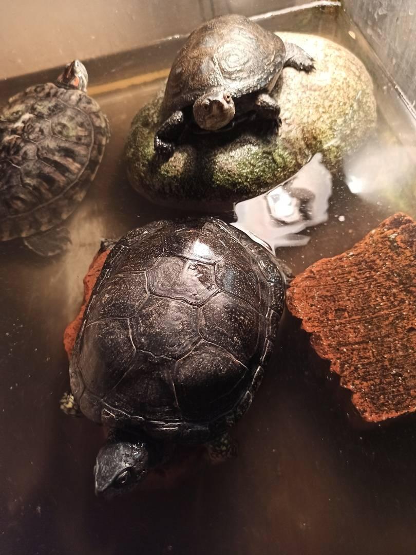 Чем кормить черепах: советы для тех кто завел черепашку. 75 фото и описание примерного рациона питания