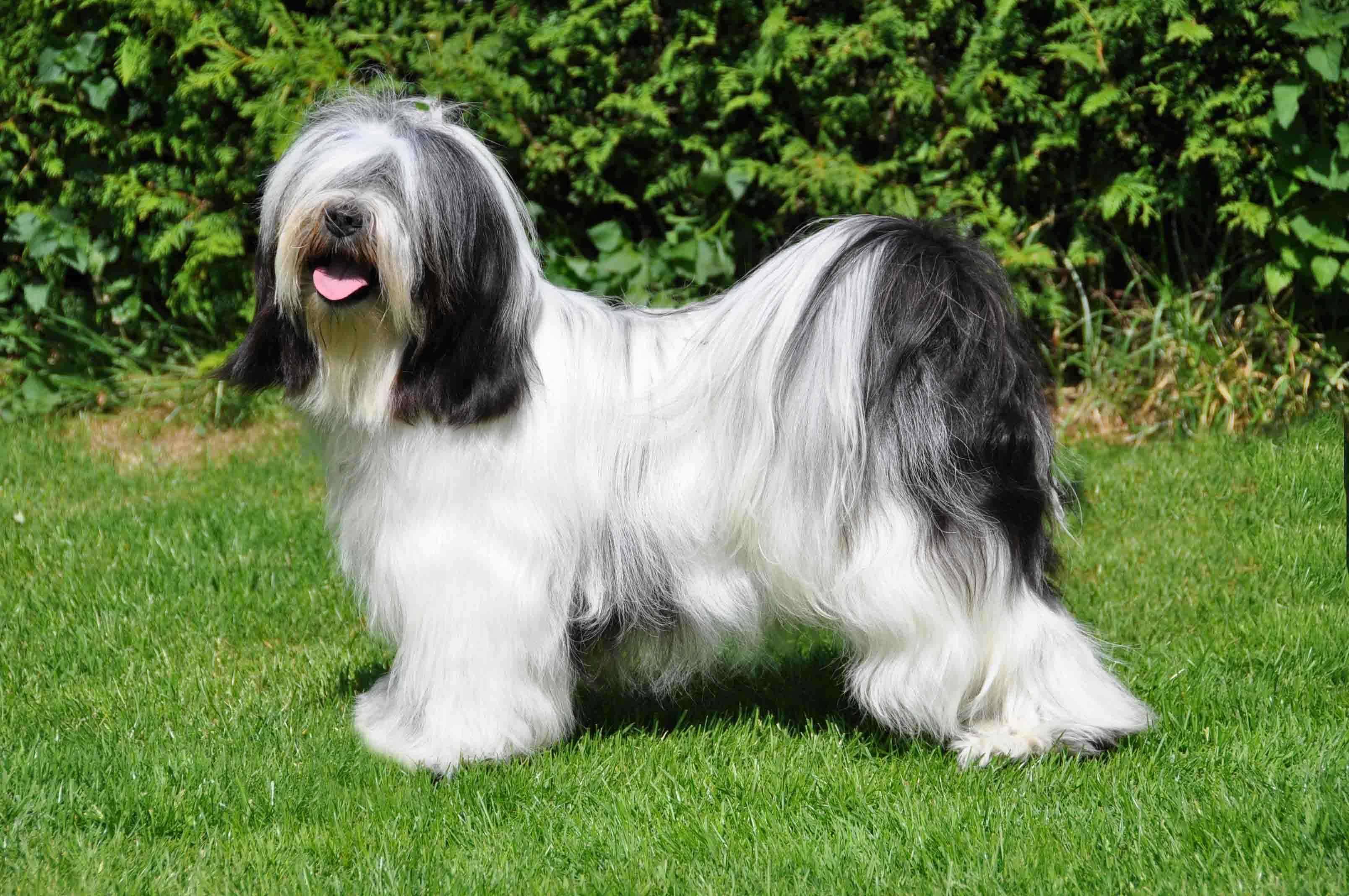 Характеристика собак породы тибетский терьер с отзывами и фото