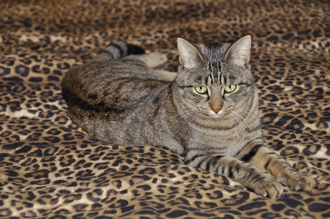 Особенности породы кошек китайская ли хуа