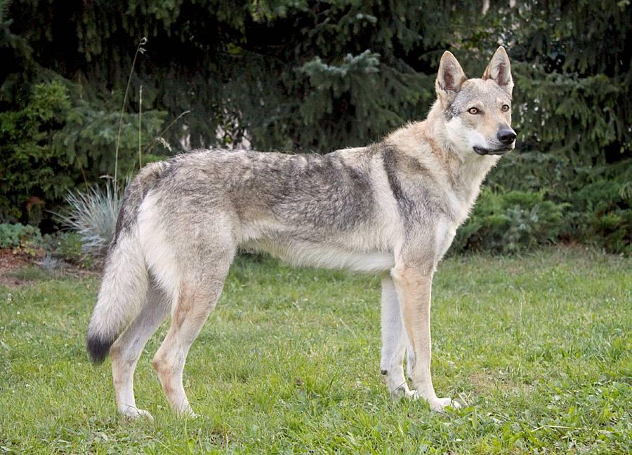 Собака похожая на волка: название пород животных