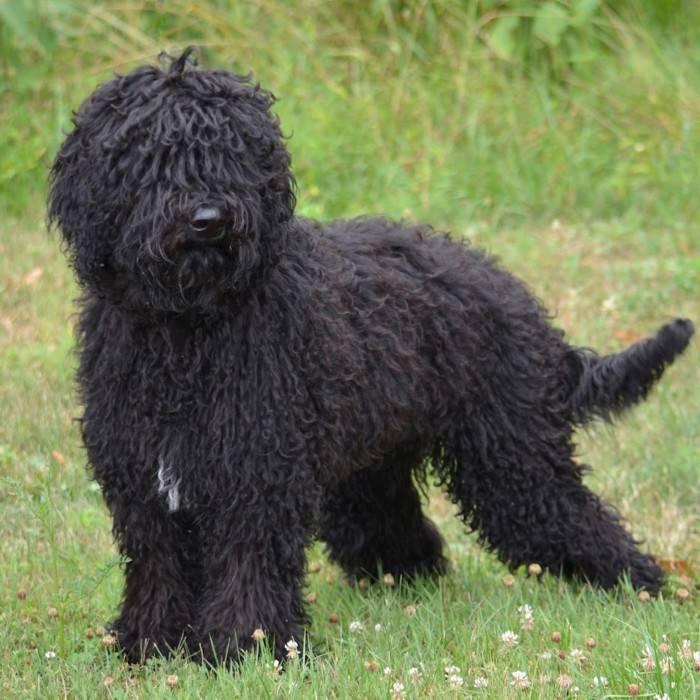 Порода собак пуми - описание, характер, характеристика, фото пуми и видео, цена