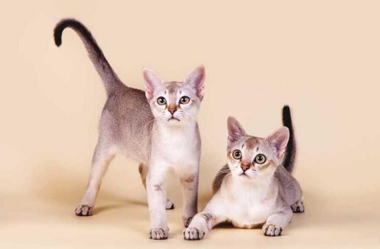 Сингапурская кошка. описание, особенности, уход и цена сингапурской кошки | животный мир