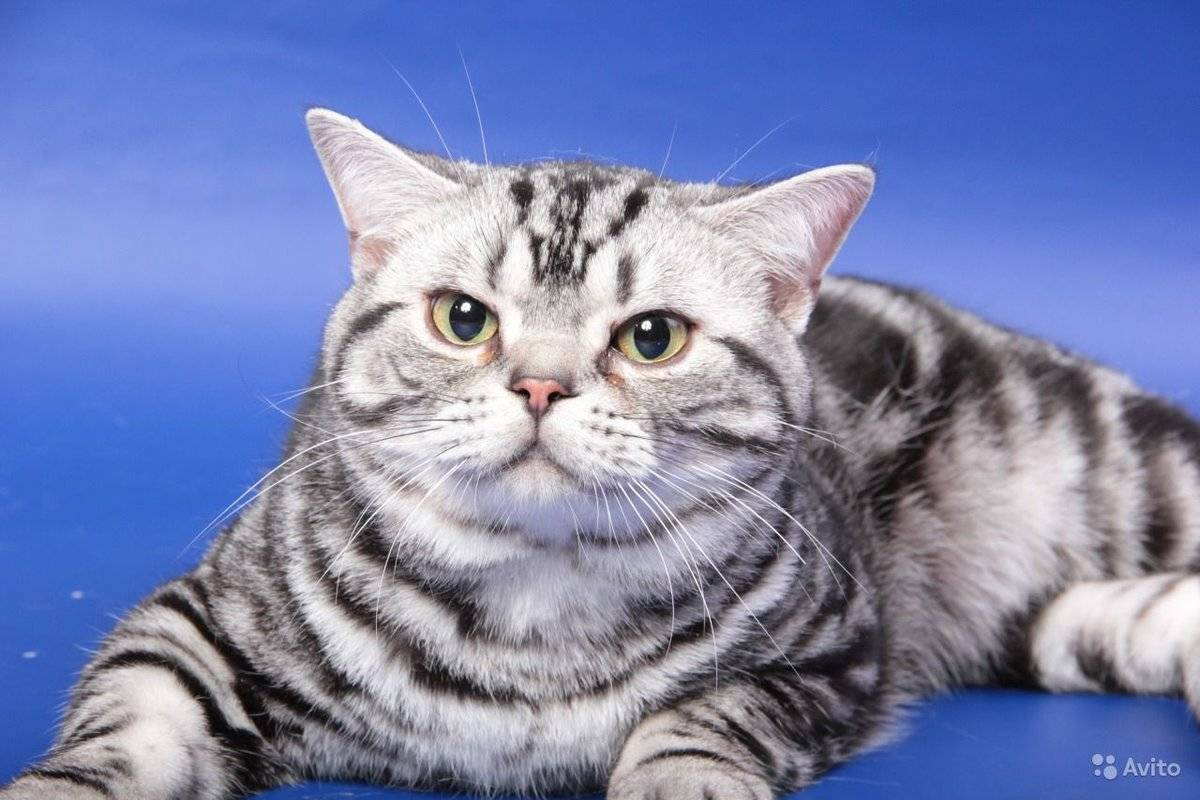 Американская короткошерстная кошка: уход, содержание и воспитание