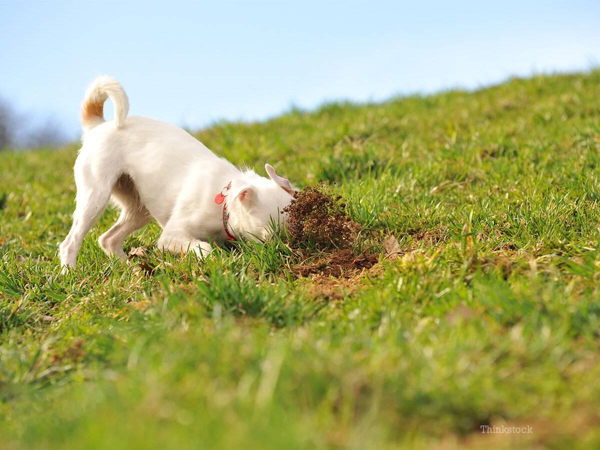 Собака ест землю – причины нездорового аппетита | dogkind.ru