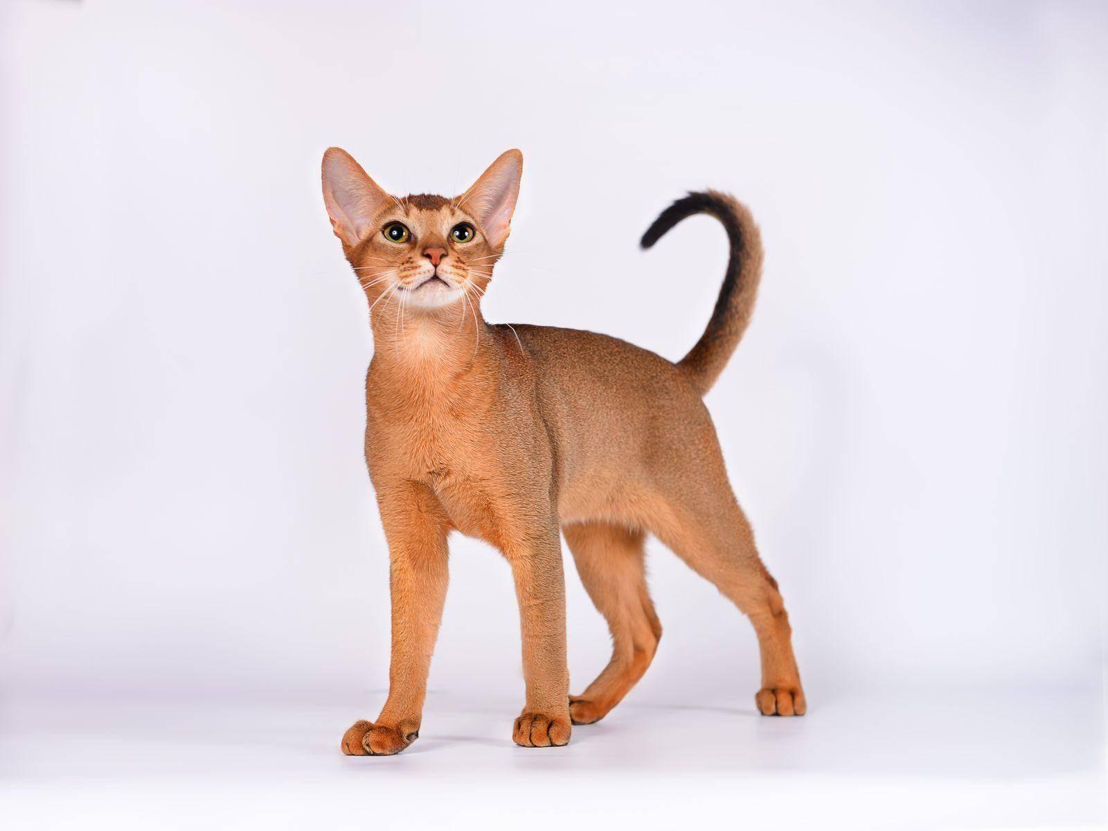 Абиссинская кошка: стандарт породы, история, уход, кормление, цена
