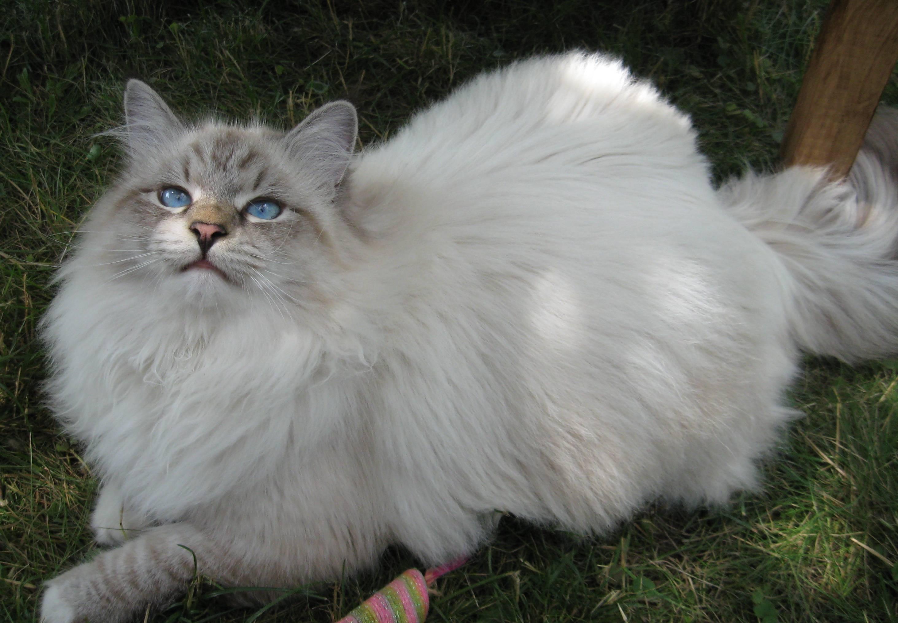 Длинношерстные кошки: американские породы разных окрасов