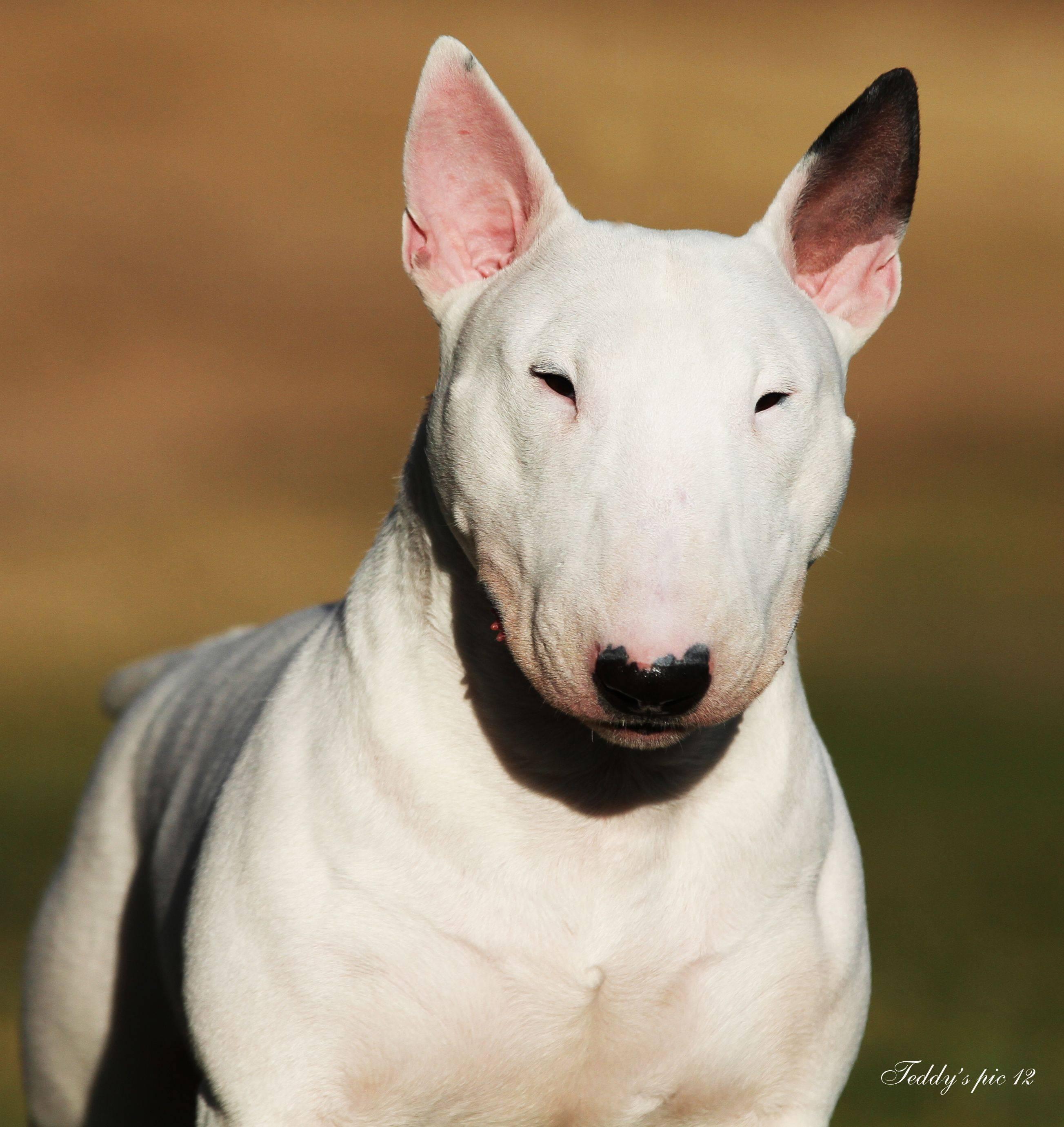 Какие породы собак относятся к бойцовским — список с названиями