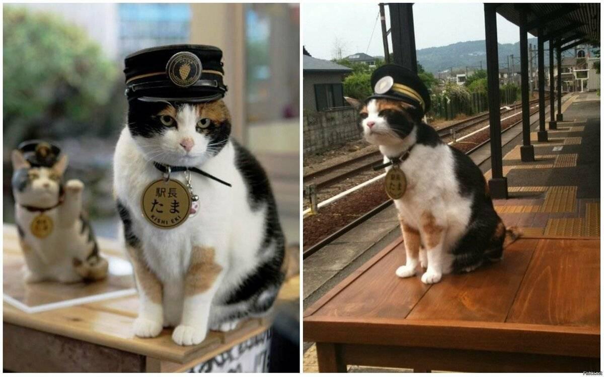 Милота зашкаливает: кот, который спас японскую железную дорогу, был посвящен в рыцари