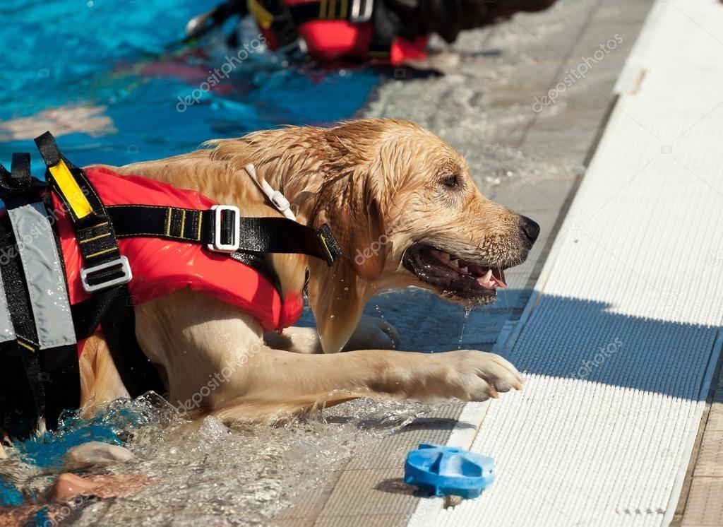 Собаки-спасатели: породы, особенности подготовки, качества