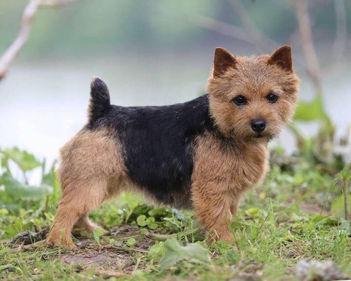 Норвич терьер — описание породы, характеристики и фото, как содержать собаку