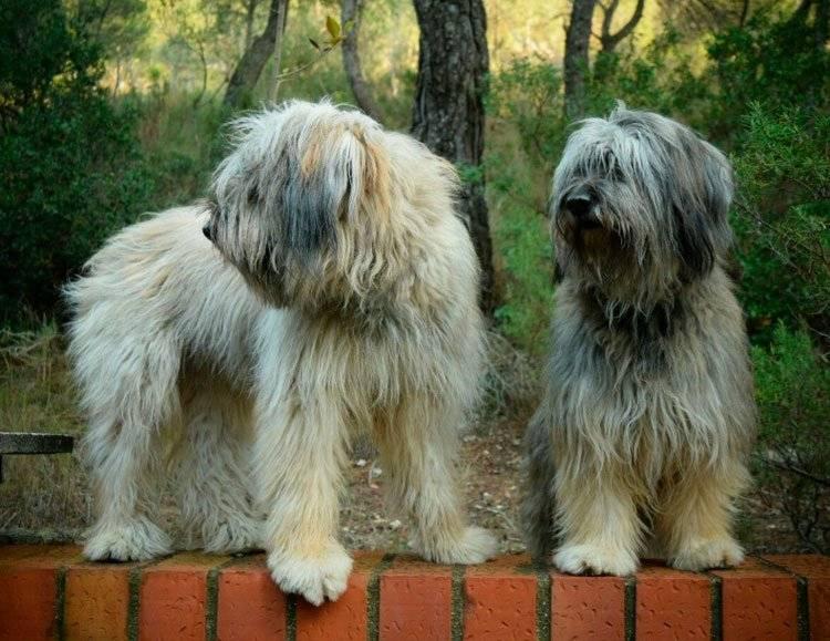Каталонская овчарка: описание породы собак с фото и видео