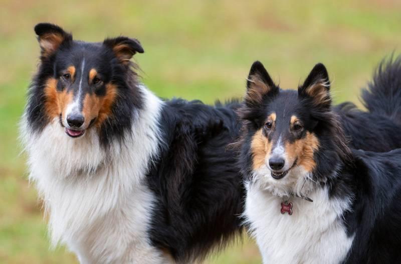 Колли (шотландская овчарка) фото, описание породы, характер, отзывы