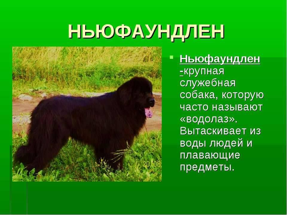 Служебные породы собак: фото, названия, описание, отзывы и видео