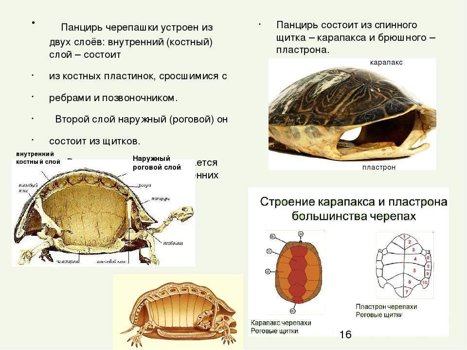 Костные образования в роговом панцире сухопутных черепах. почечная недостаточность (пн) - все о черепахах и для черепах