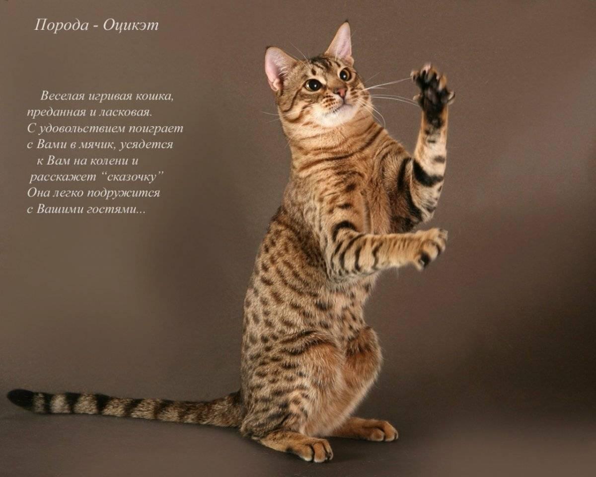 Европейская короткошерстная кошка: описание и характеристика породы - мир кошек