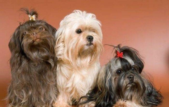 Русская цветная болонка: описание породы - моя собака