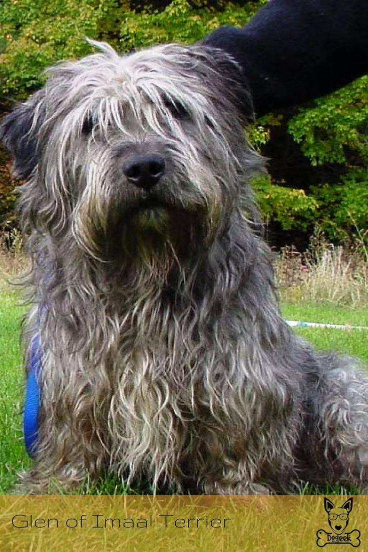 Глен оф имаал терьер (17 фото): описание ирландской породы, особенности содержания собак