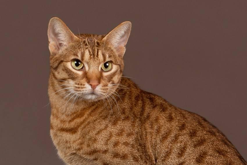ᐉ цейлонская кошка - описание пород котов - ➡ motildazoo.ru