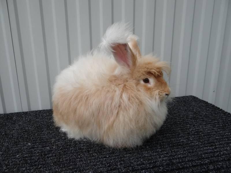 Ангорский кролик: описание породы, виды - декоративный или карликовый, уход и содержание, каким болезням подвержен