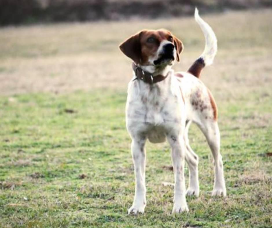 Американский фоксхаунд — фото и описание породы собак, особенности характера