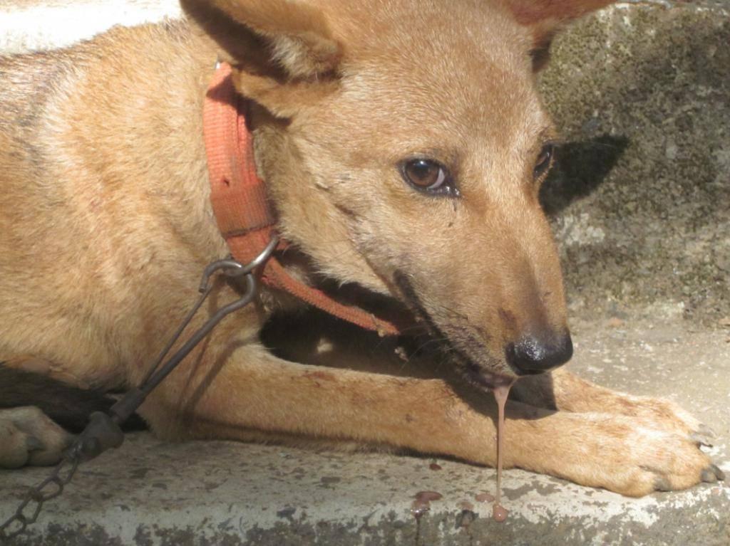 Бешенство у собак: симптомы и первые признаки заболевания