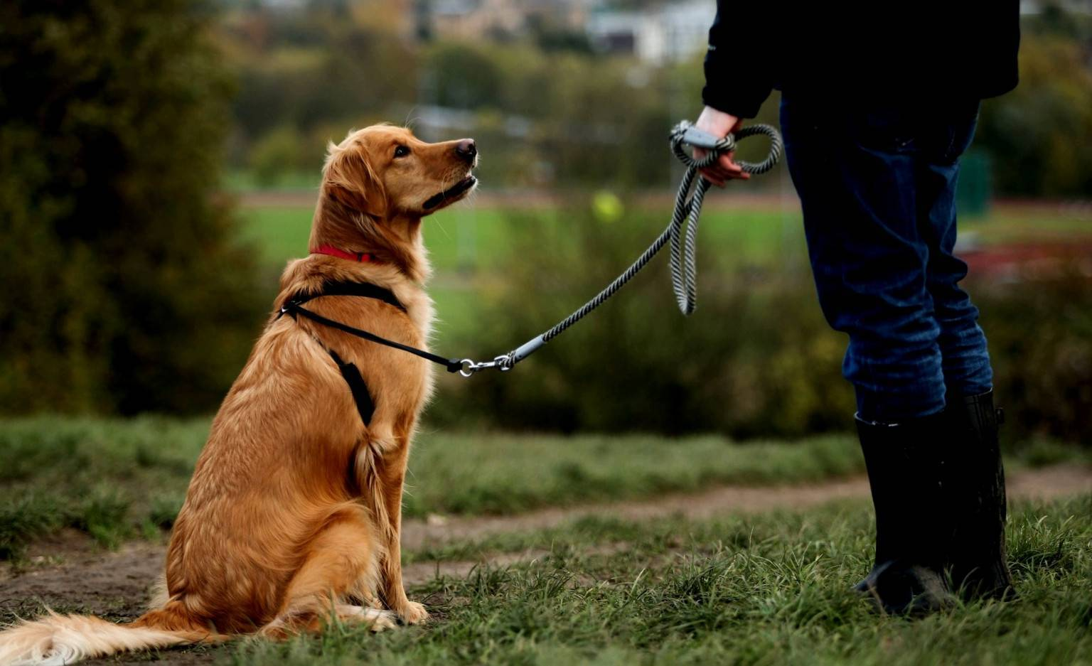Как дрессировать взрослую собаку?
