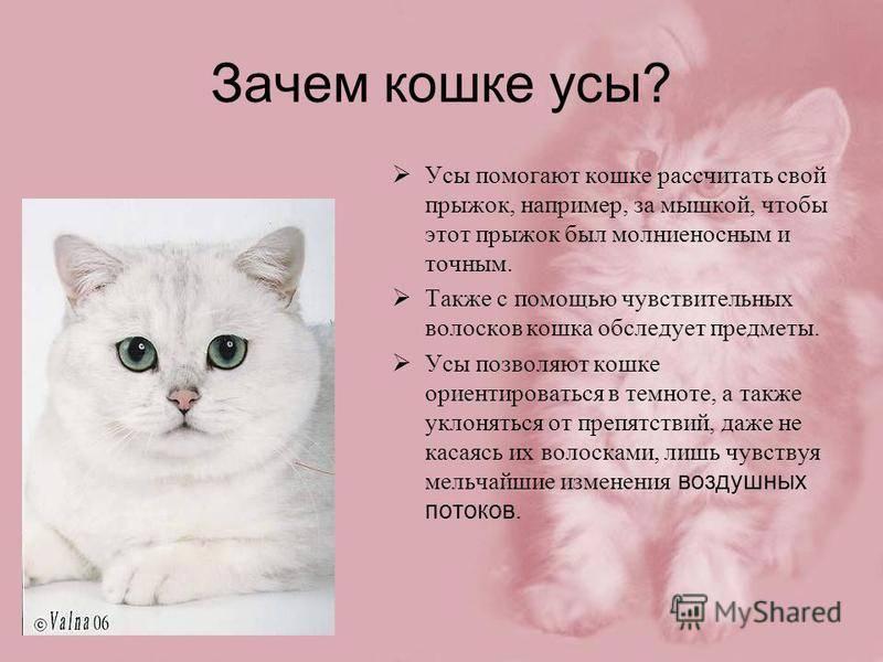 Можно ли стричь кошкам (и котам) усы?
