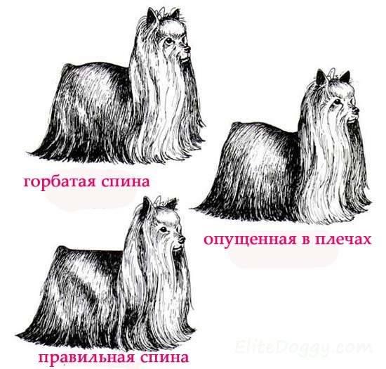 Йоркширский терьер собака. описание, особенности, виды, уход и цена породы