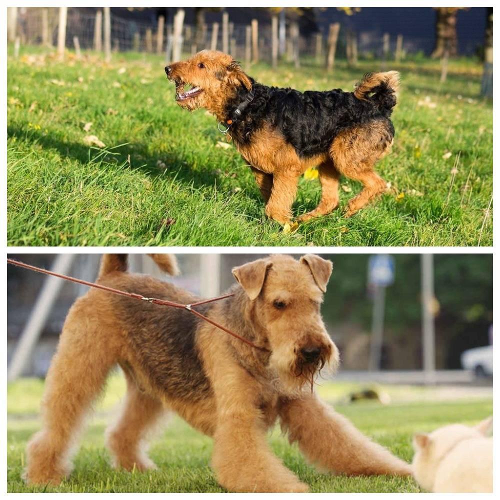 Эрдельтерьер — универсальная собака с благородной внешностью