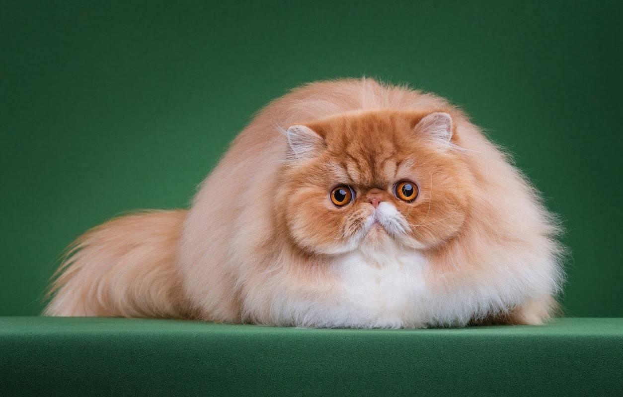 Персидский кот: фото, внешность, характер, воспитание и уход