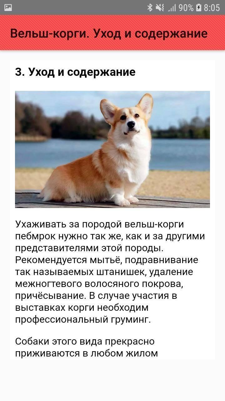 Собака «голубых» кровей – вельш корги пемброк