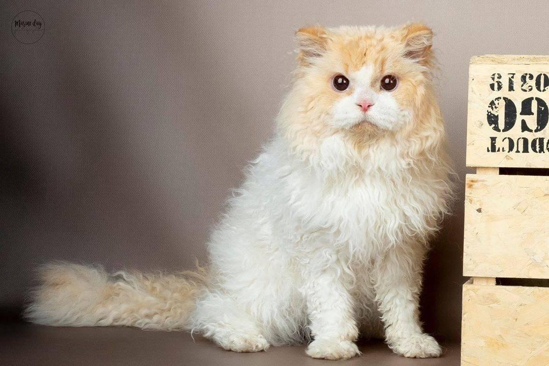 Селкирк рексы (40 фото): описание породы кошек, черты характера. почему короткошерстные коты называются страйт?